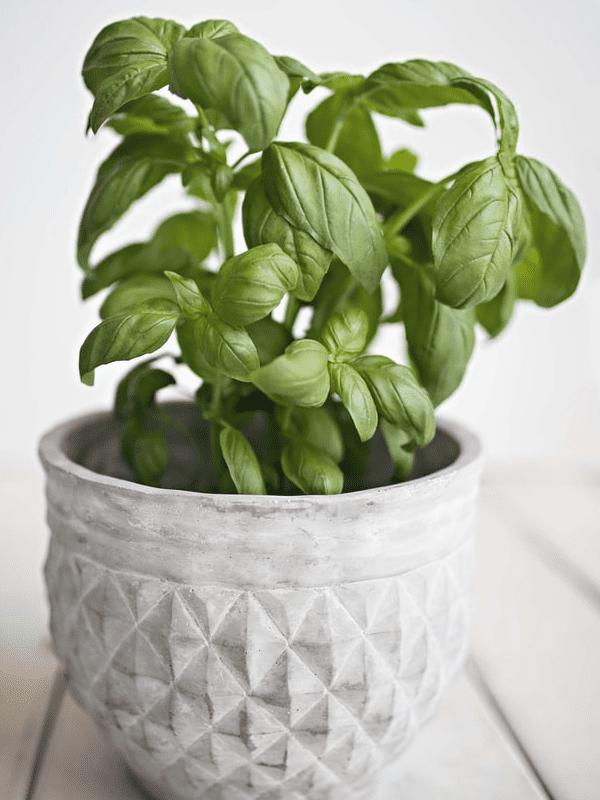 Nowlapins - Blog lapin nain - Légumes - Basilic