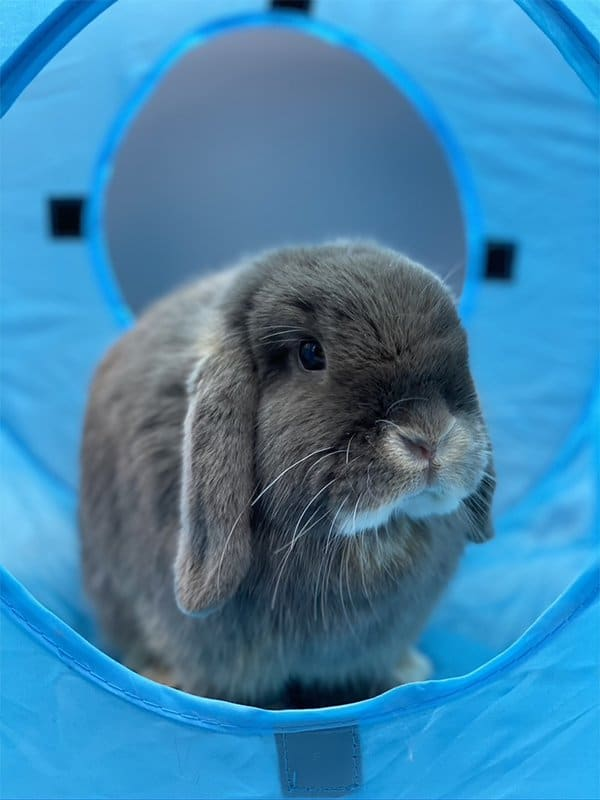 Nowlapins Lapin Nain Pipine Tunnel jouet