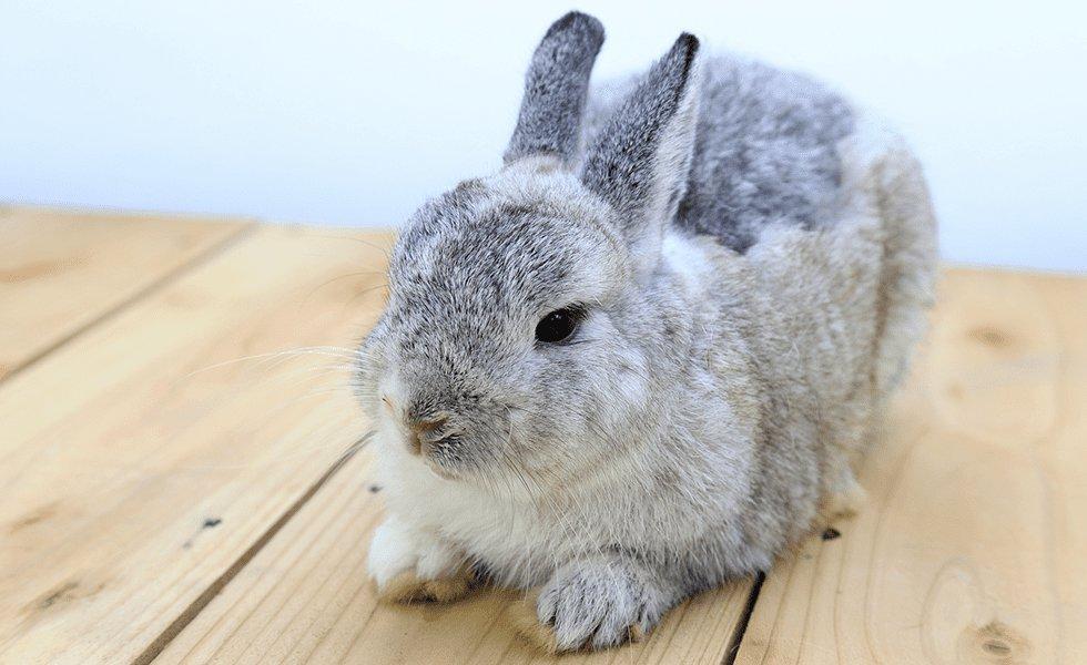 Breeds of dwarf rabbit
