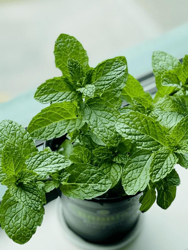 nowlapins,dwarf rabbit vegetables,dwarf rabbit herbs