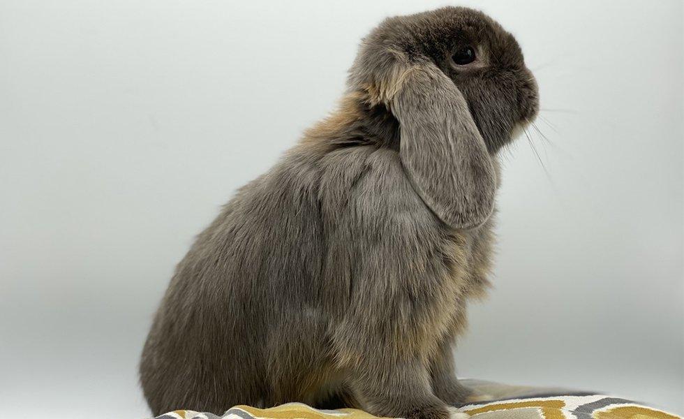 Dwarf rabbit where adopt