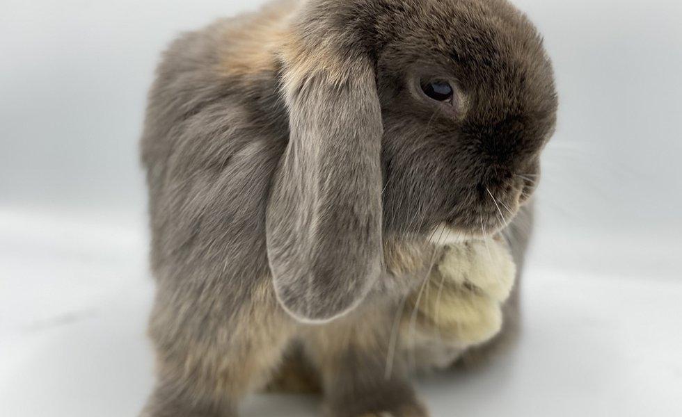 nowlapins,rabbit,bunny,dwarf rabbit,dwarf bunny,adoption,adopt,adopt bunny,adopt rabbit,adoption rabbit,adoption bunny,what-you-need-to-know-before-adopting-a-rabbit,before adoption rabbit,before adoption bunny,cage rabbit,cage bunny
