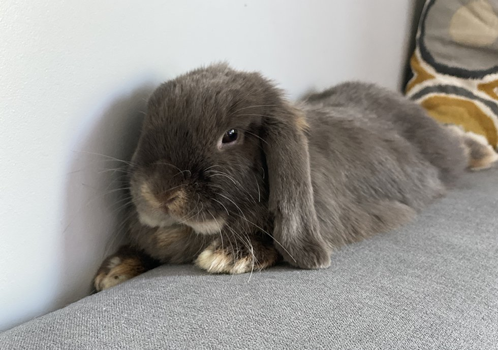 nowlapins,dwarf rabbit,dwarf bunny home,cohabitation dwarf rabbit,cohabitation dwarf bunny,cohabitation-rabbit