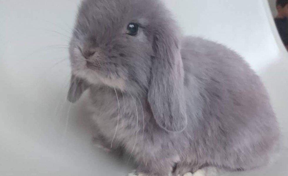 nowlapins,dwarf rabbit growth,size dwarf rabbit,size dwarf bunny,the-growth-of-the-rabbit