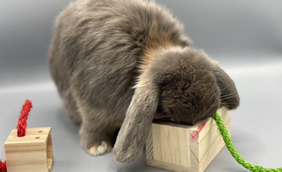 nowlapins,lapin nain,lapin bélier,lapin bélier nain,lapin extra nain,a-typical-rabbit-day