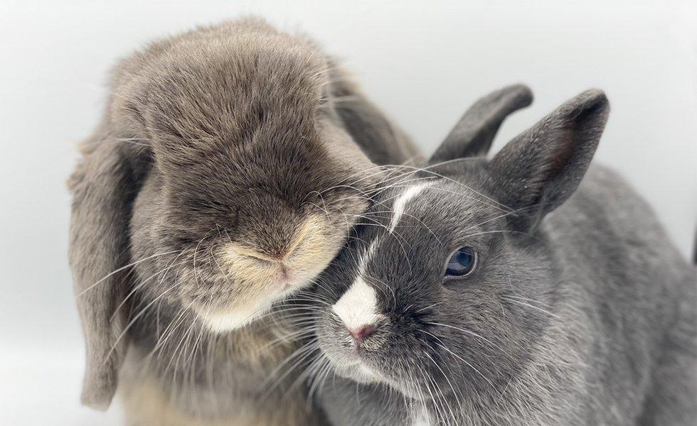nowlapins,dwarf rabbit,dwarf bunny,toilet bunny,toilet dwarf rabbit,toilet dwarf bunny,toilet-training