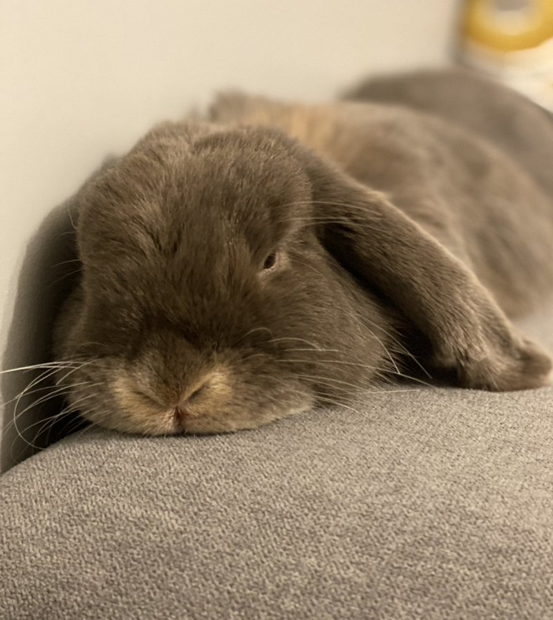 nowlapins,bunny dwarf,rabbit dwarf,communication rabbit,communication rabbit dwarf,communicate-with-your-rabbit
