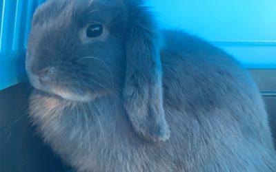 Sterilization of the dwarf rabbit