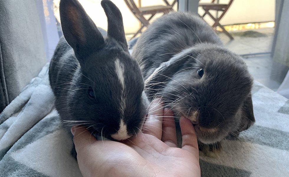 nowlapins,rabbit dwarf,bunny care,bunny sterilization,rabbit sterilization