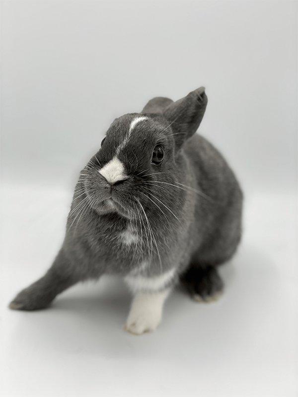 Nowlapins dwarf rabbit Adoption