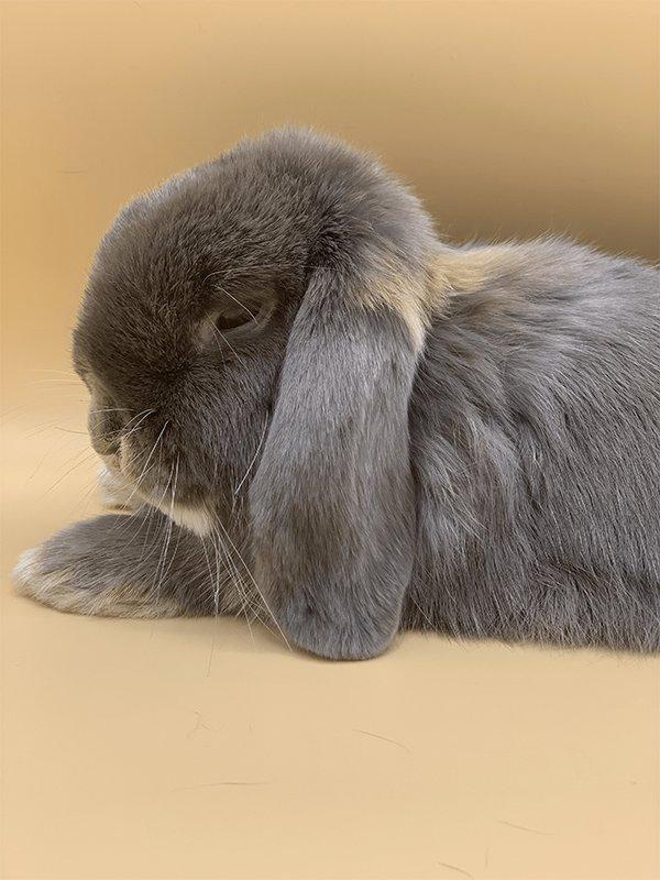 Nowlapins dwarf rabbit food