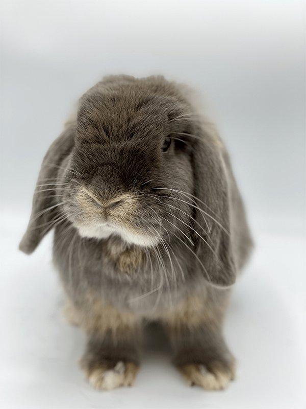 Nowlapins dwarf rabbit daily life