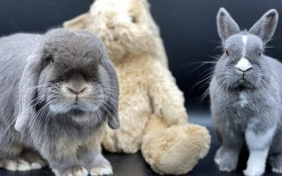 The dwarf rabbit, that rodent that it is not