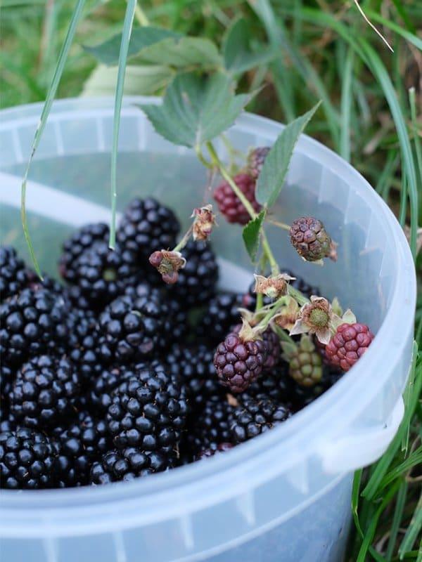 Lapin Nain Fruit Mure blackberry