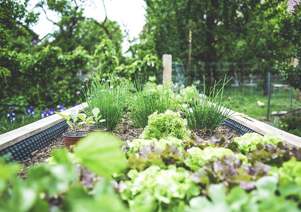 Nowlapins Potager Jardin Légumes Lapin Nain