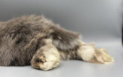 Pododermatitis in dwarf rabbits