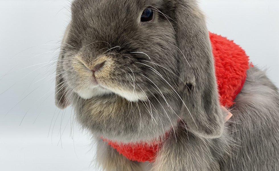 Lapin Nain Dwarf Rabbit Nowlapins Fanon