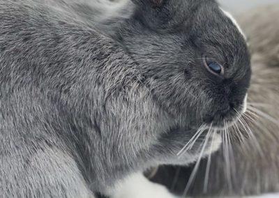 Lapin Nain Galerie Photo Nowlapins - Dwarf rabbit photo gallery Nowlapins