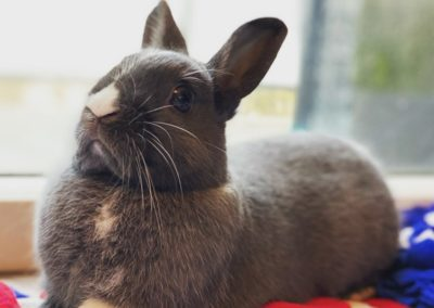 Nowlapins-Lapin-nain-Dwarf-rabbit-Galerie-53