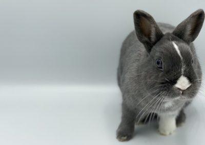 Nowlapins-Lapin-nain-Dwarf-rabbit-Galerie-55