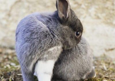Nowlapins-Lapin-nain-Dwarf-rabbit-Photo-61