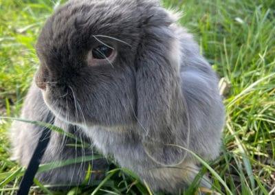 Nowlapins-Lapin-nain-Dwarf-rabbit-Photo-62