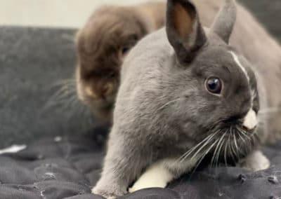 Nowlapins-Lapin-nain-Dwarf-rabbit-Photo-63