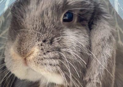 Nowlapins-Lapin-nain-Dwarf-rabbit-Photo-64