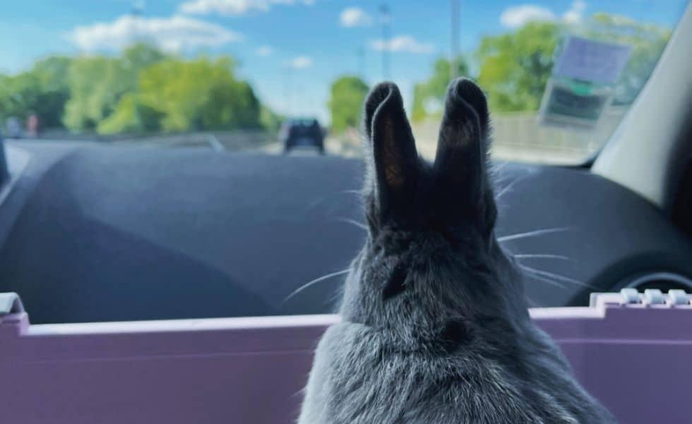Rabbit nowlapins lapins voiture voyage